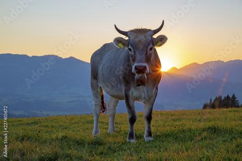 Kuh - Allgäu - Sonnenuntergang - Hörner - Herbst