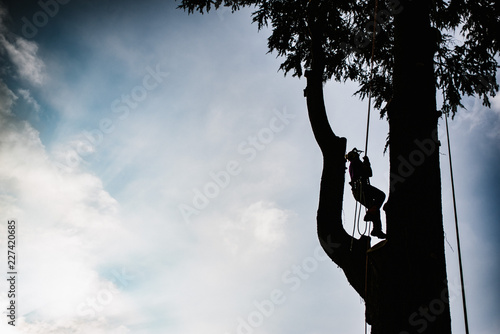 treeclimber above tree to perform pruning and felling arboriculture Canvas Print