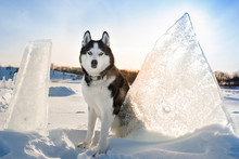 Black And White Siberian Husky With Blue Eyes. Dog Outdoors In Winter. Big Ice Floes