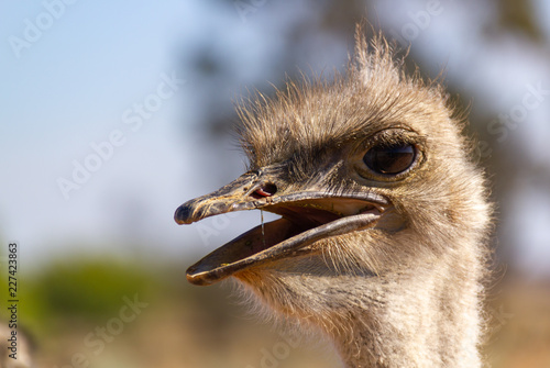 Foto op Plexiglas Struisvogel portrait of an ostrich