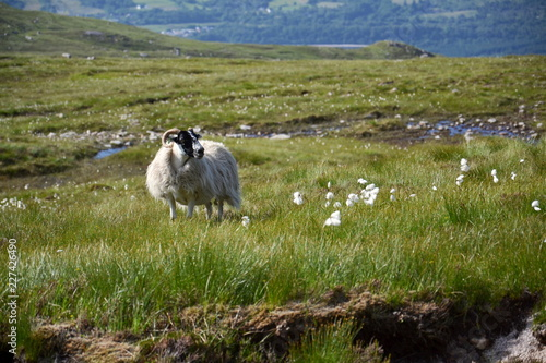 Fotografija  Scottish Blackface Sheep with idyllic summer mountains landscape, Highlands, Sco