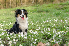 Dog, Miniature Australian Shep...