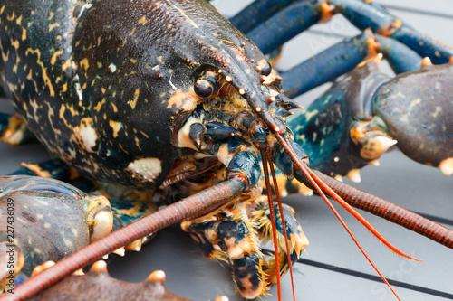 Photo  Homard breton vivant après la pêche