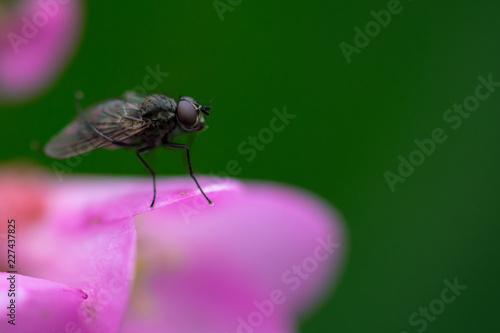 mosca posata su petali di fiore rosa, sfondo verde sfocato