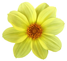 Yellow Bright Flower Dahlia Isolated On White Background. For Design. Closeup. Nature.