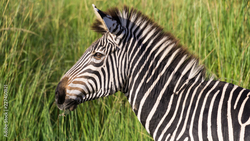 Tuinposter Zebra Zebra with green background