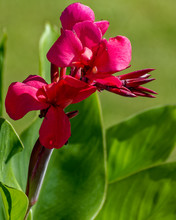 Red Flowers Of Blossom Canna Lilies.