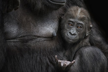 Portrait Of Gorilla Baby Sitting With Mother