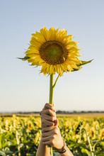 Hands Of A Woman In A Field Lifting A Sunflower