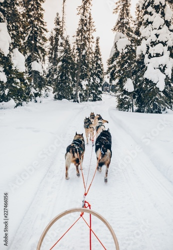 Riding husky dogs sledge in snow winter forest in Finland, Lapland