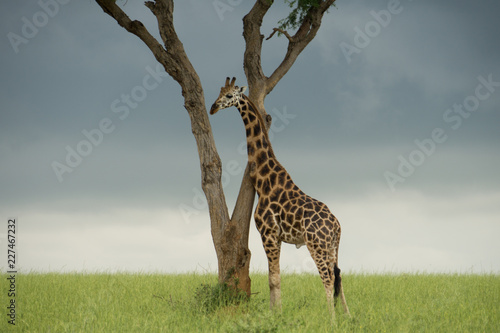 Foto op Aluminium Giraffe giraffe in africa