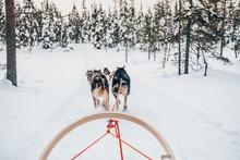 Riding Husky Dogs Sledge In Sn...