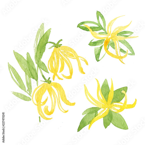 Foto op Canvas Draw Watercolor illustration of Ylang-Ylang. Botanical Illustration. Illustration for greeting cards, invitations