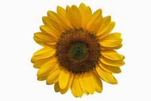 Sunflower  Isolated On White B...