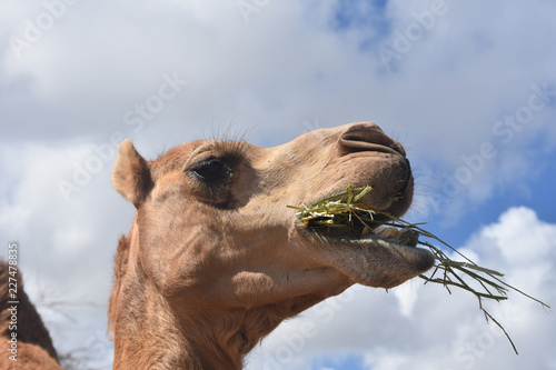 Fotografie, Obraz  Stunning Photo of Camel Chewing