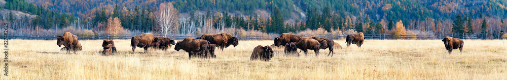 Fototapety, obrazy: Panorama. a herd of bison in the nursery Ust-Buotama in Lena Pillars Natural Park, Yakutia, Russia