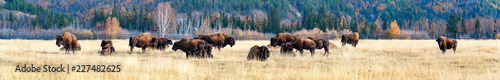 Poster de jardin Bison Panorama. a herd of bison in the nursery Ust-Buotama in Lena Pillars Natural Park, Yakutia, Russia
