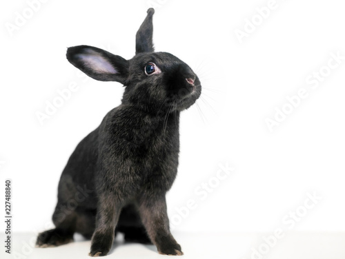 Canvastavla A black domesticated pet rabbit on a white background