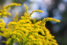 Yellow Textured Goldenrod In T...