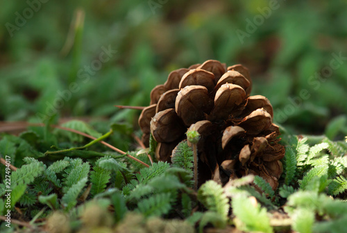 Fotografie, Obraz  Pine Cone On Forest Floor