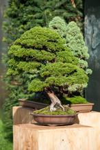 Closeup Of Juniper Bonsai In A...