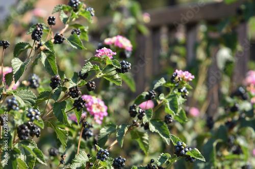 Fotografia, Obraz  Fresh blackberries on the plants