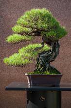 Closeup Of Pine Bonsai In A Ja...