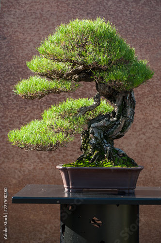 closeup of pine bonsai in a japanese garden