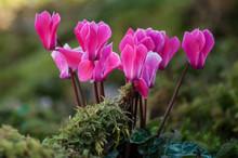 Closeup Of Pink Cyclamen In A ...