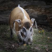 Red River Hog Wildlife Feeding
