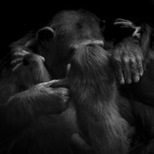 Mother Chimpanzee Monkey Picki...