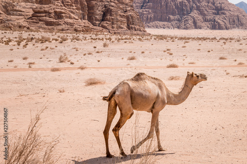 Chameau dans le désert de Wadi Rum près de Pétra en Jordanie