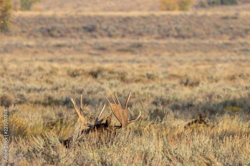 Fotografie, Obraz  Bull Shiras Moose in Wyoming in Fall