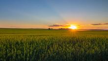 Beautiful Summer Sunset In A Canola Field In Airdie, Alberta, Canada