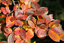 Branch Of Cotoneaster Lucidus ...