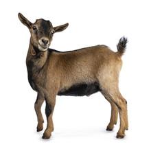 Brown Agouti Pygmy Goat Standi...