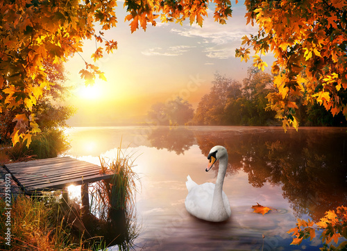 Swan on autumn river