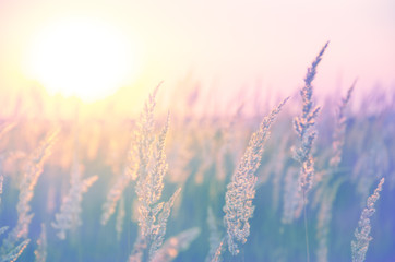 Spikelets of grasses illuminated by the warm golden light of setting sun.Beautiful summer scene in pastel tones and colors.