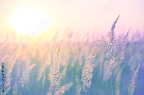 fototapeta na ścianę Spikelets of grasses illuminated by the warm golden light of setting sun.Beautiful summer scene in pastel tones and colors.