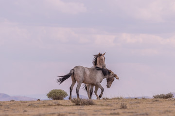 Wild Horse Stallions Facing Off in the Desert