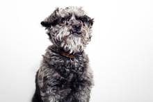 Hairy Dog Against White Background