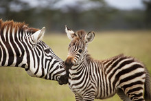 Zebra With Young