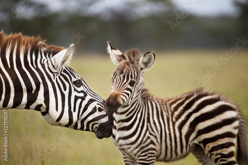Close-up of Zebras in forest