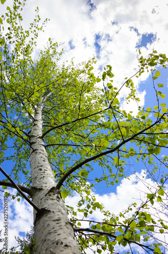 Birch tree, blue sky and white clouds. Summer in French Alps.