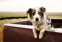 Portrait Of Dog In Pick Up Truck