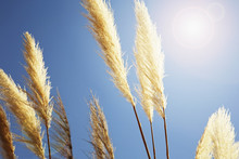Pampas Grass Growing Against C...