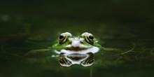 Augen Eines Grasfrosches Mit Reflektion