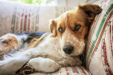 Portrait Of Dog Relaxing On Sofa