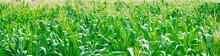 Cornfield And Fresh Corn