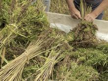 Professional Farmer Tying Bundles Of Hemp Stalks